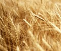 Wheat_photo_02.jpg