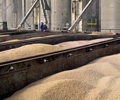 Japan corn imports to remain high