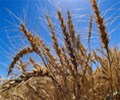 wheat_003.jpg