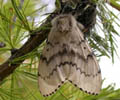 Asian_Gypsy_Moth