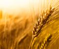 wheat_crops